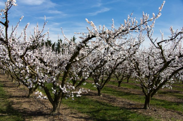 Blooming Orchards (1)
