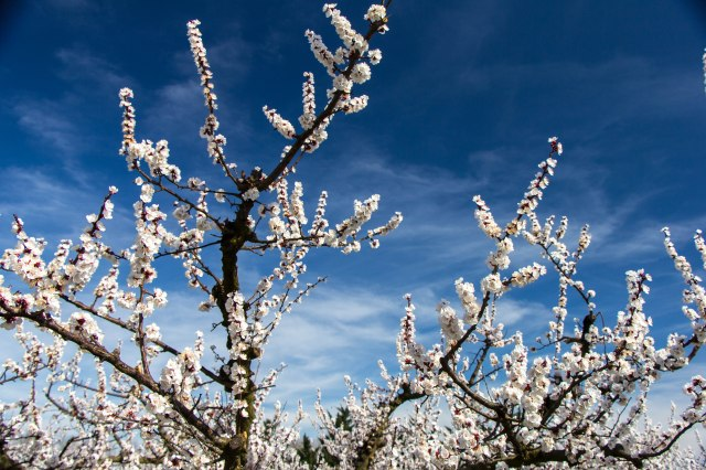 Blooming Orchards (2)