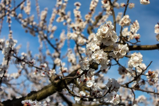 Blooming Orchards (6)