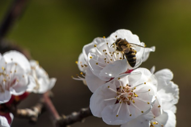 Blooming Orchards (7)