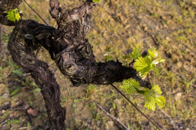 Near St Etienne de l'Olm - grapes early spring