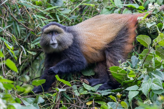 golden monkeys-1-10