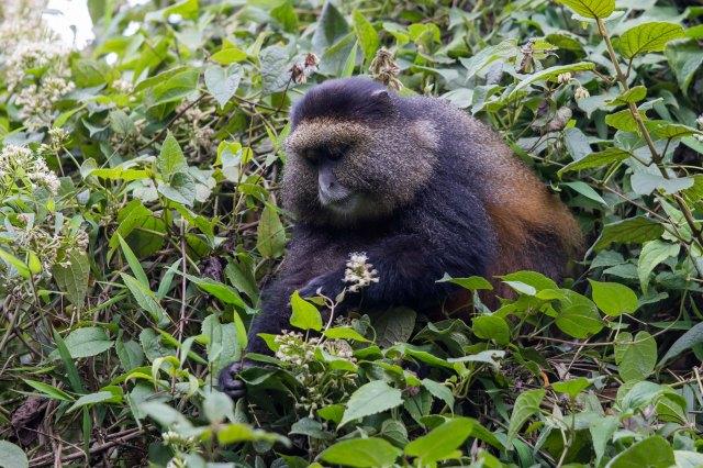 golden monkeys-1-13