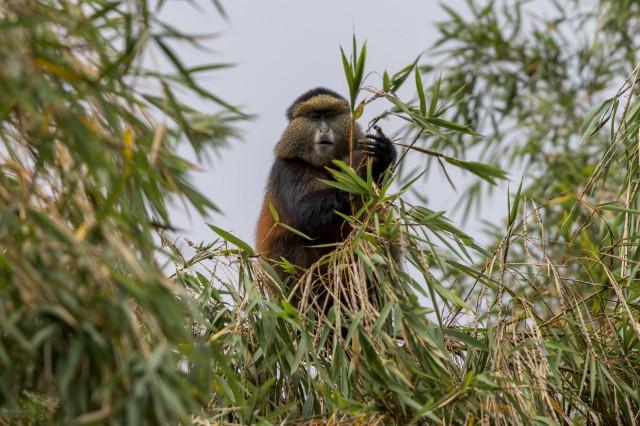 golden monkeys-1-15