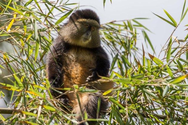 golden monkeys-1-2