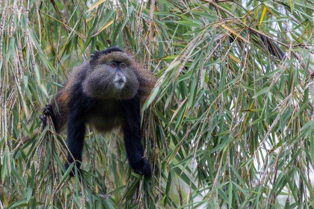 golden monkeys-1-4