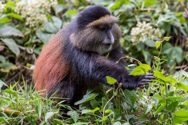 golden monkeys-1-8