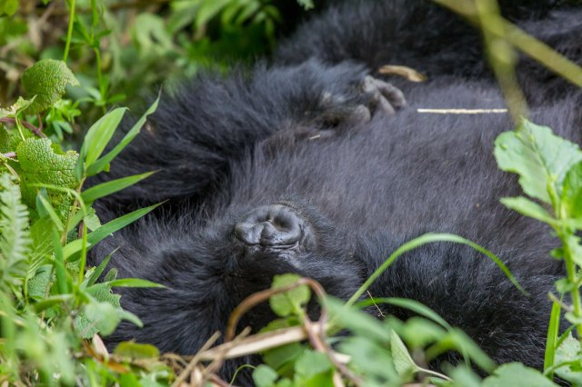 gorilla trekking-1-4