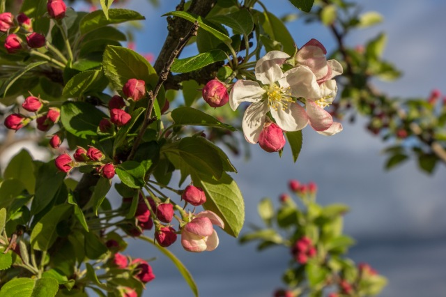 blooming crab apple-1