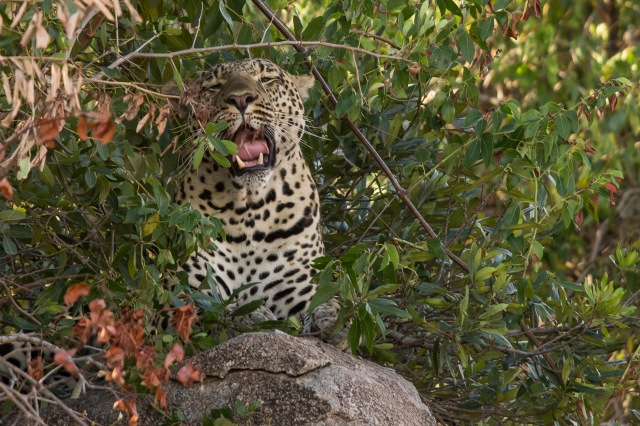Leopard after his nap