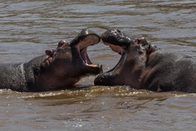 Hippos at play