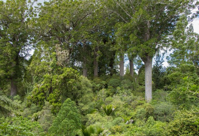 Coromandel Peninsula - Kauri Reserve