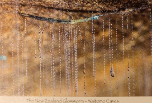 photo of glowworm postcard