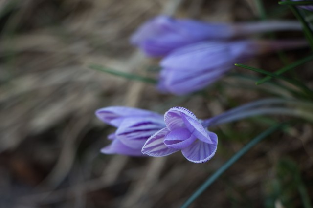 Mountain Crocus