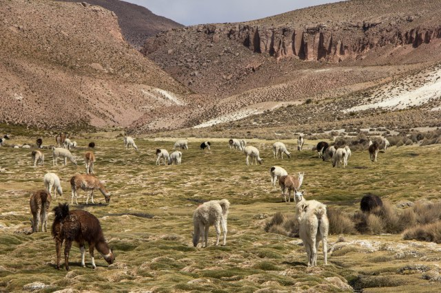 National Reserve of the Vicunas