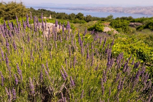 Hvar - Old Road - Lavender