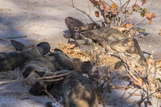 Wild Dog Pups-11