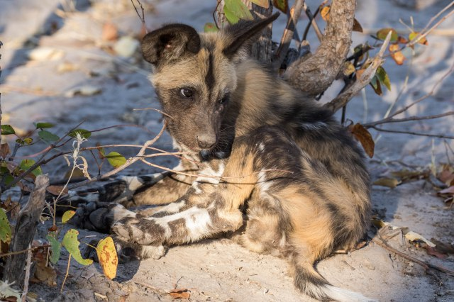 Wild Dog Pups-17
