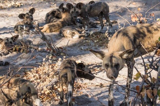 Wild Dog Pups-21