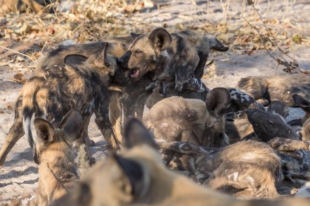 Wild Dog Pups-23
