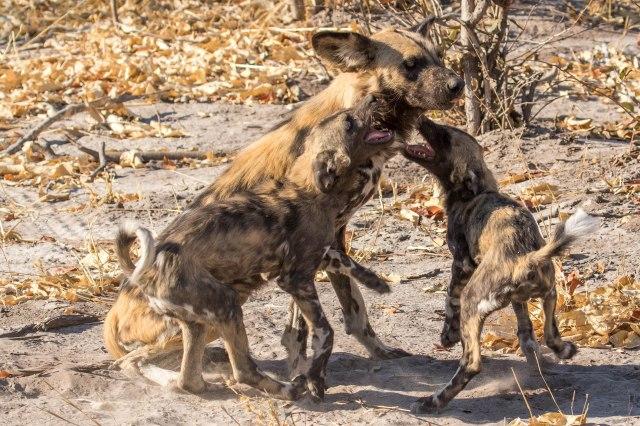 Wild Dog Pups-4