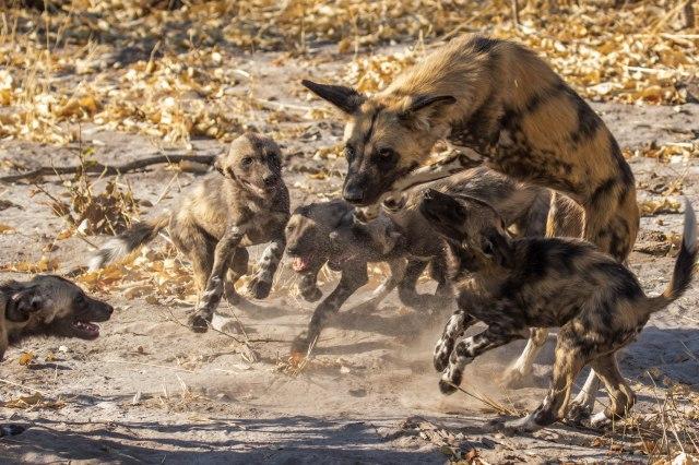 Wild Dog Pups-5