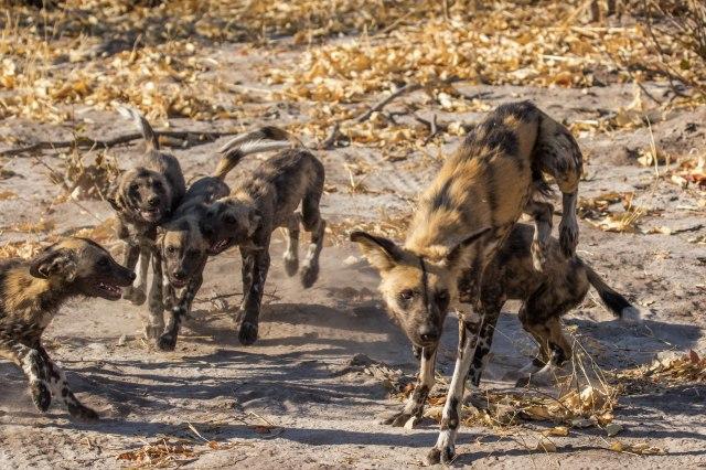 Wild Dog Pups-6
