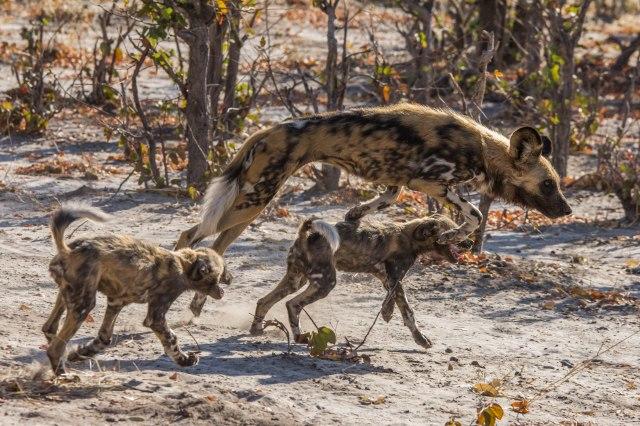 Wild Dog Pups-7