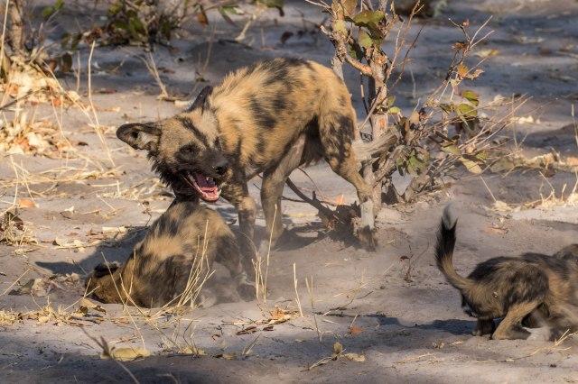 Wild Dog Pups-8
