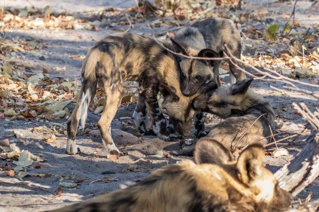 Wild Dog Pups-9